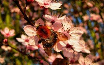 цветы, насекомое, весна, пчела, шмель