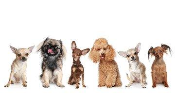 белый фон, пудель, собаки, разные, пинчер, чихуахуа, той-терьер, пекинес, собрание у собачек