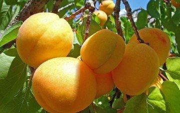 ветка, фрукты, урожай, абрикосы, спелые, абрикосы на веточке