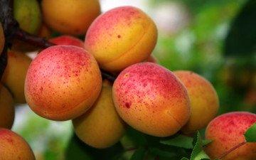 листья, фрукты, плоды, абрикосы