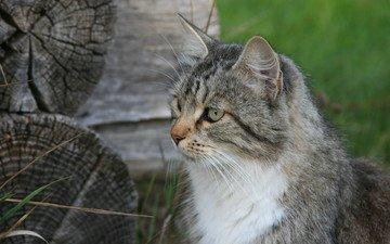 природа, кот, взгляд, деревня, изба, охотится