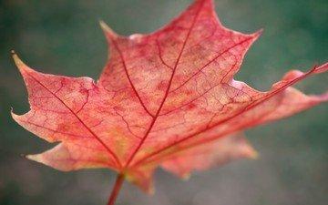макро, осень, красный, лист, размытость, клен, кленовый лист, крупным планом