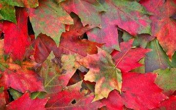 природа, листья, макро, осень, клен, листопад