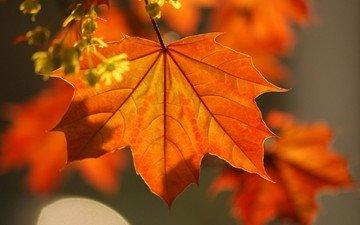 ветка, листья, осень, клен, красивые