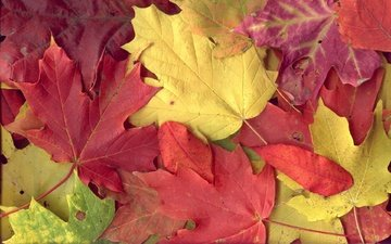 листья, разноцветные, осень, клен, листопад