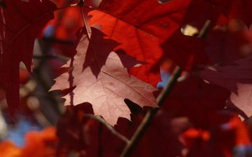 leaves, macro, branches, autumn, red, maple