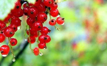 роса, капли, ягода, красная смородина