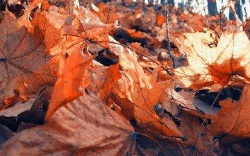 природа, лес, листья, листва, осень, клен, сухая