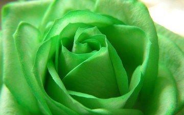 цветок, роза, beautiful nature wallpapers, цветком, грин, зеленая роза