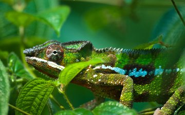 листва, ящерица, зеленая, окрас, хамелеон, яркий, рептилия