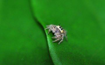 глаза, маленький, лист, насекомые, паук, лапки, паучок