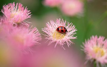 цветы, насекомое, божья коровка, розовые