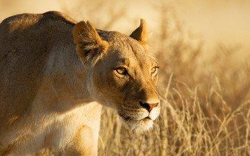 морда, взгляд, лев, охота, львица, львица на охоте