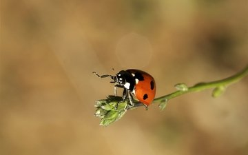 insects, ladybug, of god