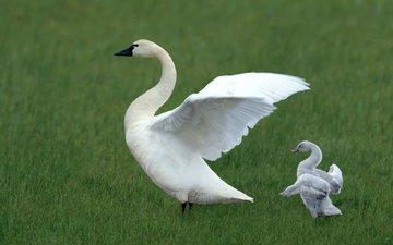птицы, лебедь, зарядка