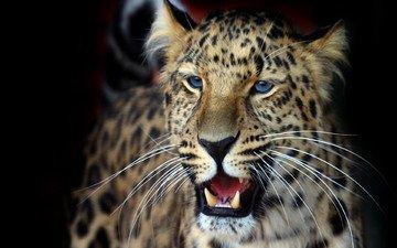 фон, усы, взгляд, леопард, оскал, темный