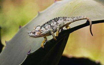 лист, ящерица, колючки, растение, хамелеон