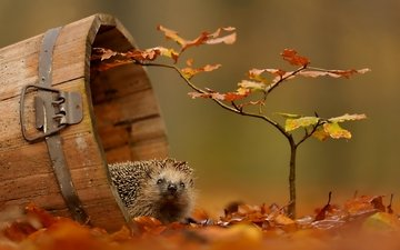 foliage, autumn, hedgehog