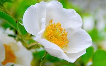 шиповник, дикая роза