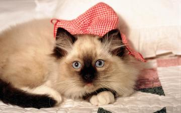 кот, мордочка, усы, кошка, взгляд, лежит, сиамская
