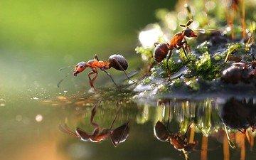 макро, насекомые, лужа, муравьи