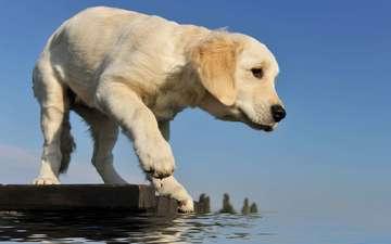 вода, мостик, щенок, лапа, ретривер