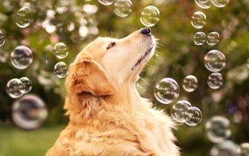 мыльные пузыри, золотистый ретривер
