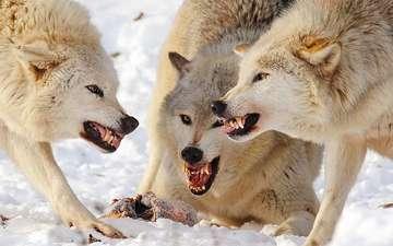 хищники, волки, стая, добыча, драка