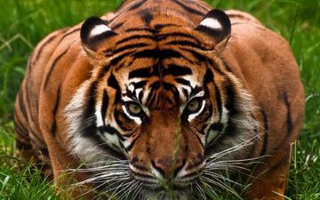 тигр, охота