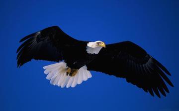 крылья, хищник, птица