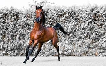 лошадь, снег, конь, бег, жеребец