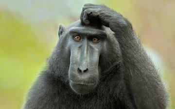 обезьяна, думает