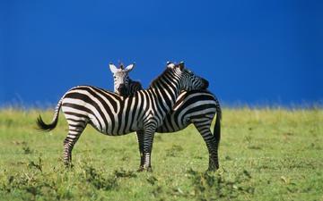 зебра, любовь
