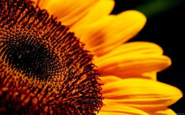 макро, цветок, лепестки, подсолнух, черный фон