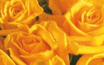бутон, букет цветов, желтая роза, букет роз