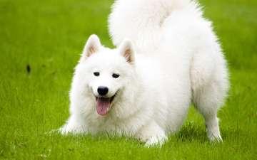 трава, взгляд, собака, язык, лайка, самоед, самоедская, северная ездовая