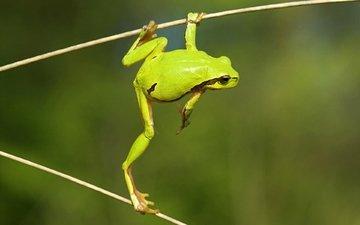 nature, macro, frog, green, legs, wood