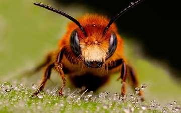 насекомые, пчела, муровей