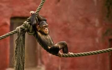 обезьяна, макака