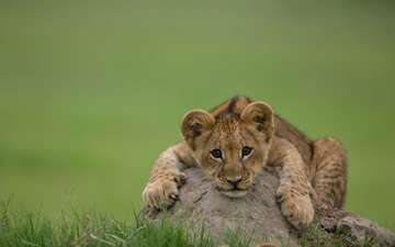 лев, львёнок, детеныш