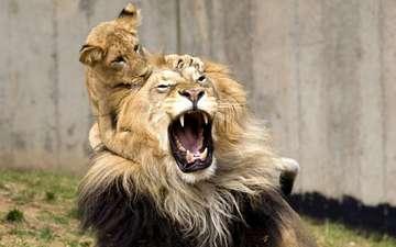 игра, львы, лев, оскал, львёнок, детеныш