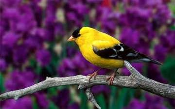 птица, щегол