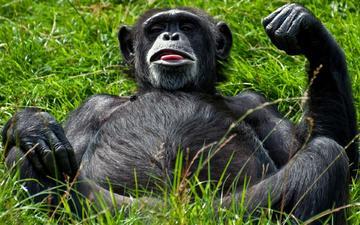 морда, трава, лежит, обезьяна, живот, гримаса, примат, шимпанзе