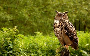 сова, природа, лес, взгляд, птица, филин, оперение