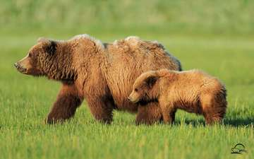 bear, brown bear