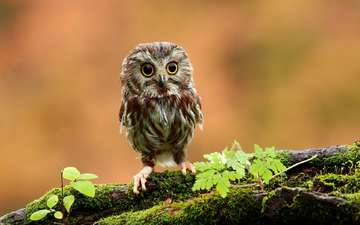 owl, chick, bird, owlet