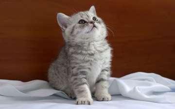 кошка, взгляд, котенок, сидит, ткань, британец