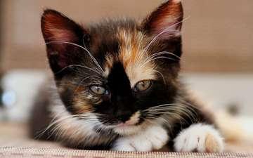 кошка, взгляд, котенок, мордашка, трехцветный
