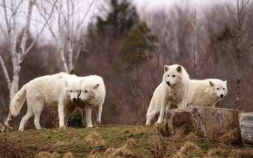 хищники, волки, стая
