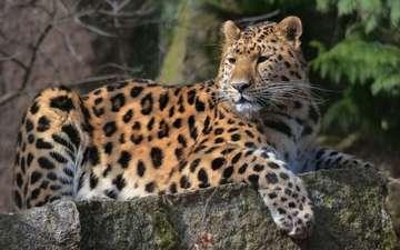 морда, усы, взгляд, лежит, леопард, хищник, большая кошка, лапа, пятнистый, на камне